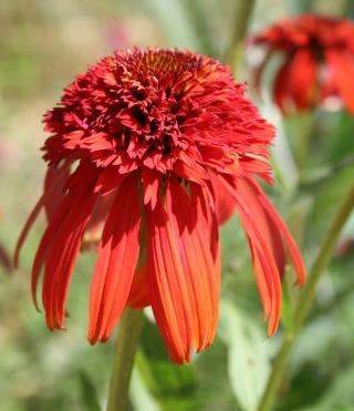 Echinacea - le genre Img_7712