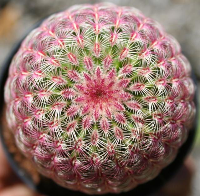 Echinocereus rigidissimus rubrispinus Img_7812