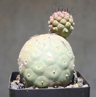 Tephrocactus geometricus Img_7816