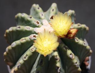 Ferocactus glaucescens inermis Img_7818