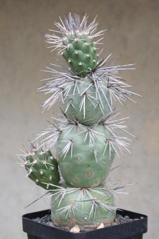 Tephrocactus alexanderi Img_7828