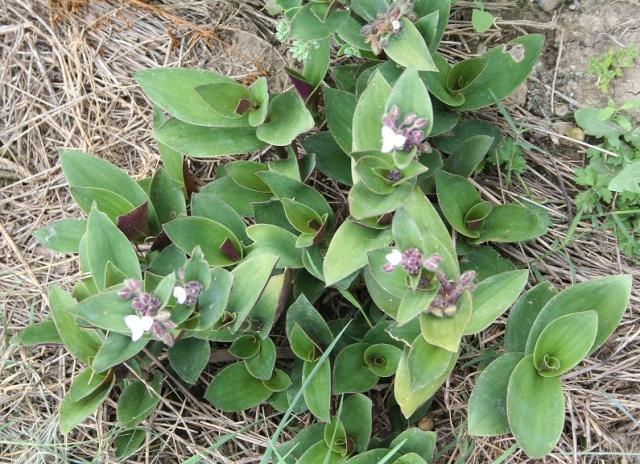 Tradescantia cerinthoides (=Tradescantia blossfeldiana) Img_7829