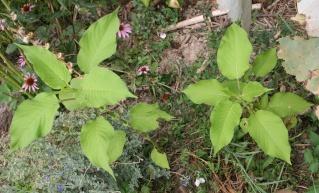 Persicaria orientalis (= Polygonum orientale) Img_7910