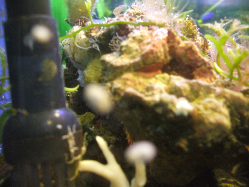 My Turbo Astrea Snails had Babies!! 00110