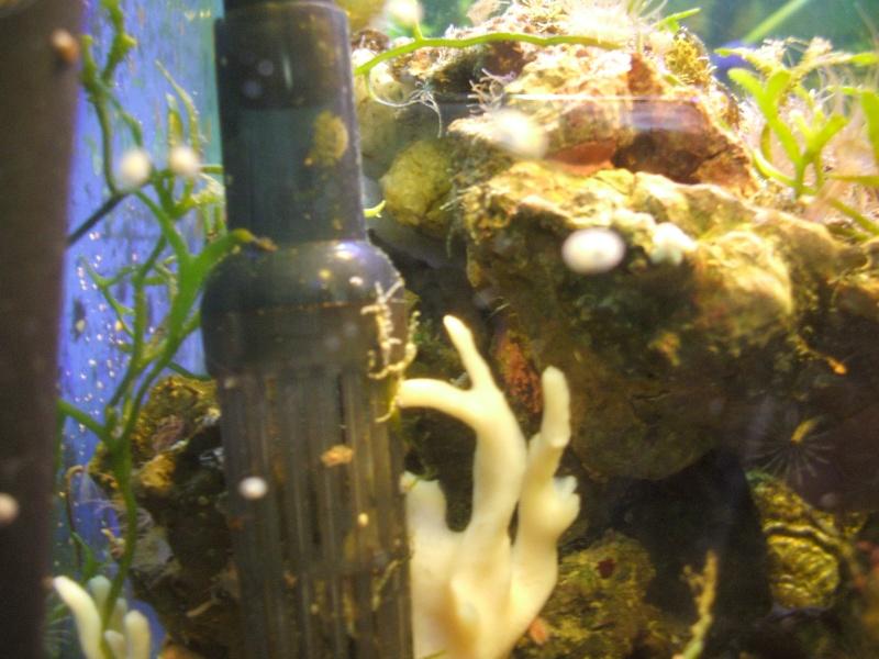 My Turbo Astrea Snails had Babies!! 00310