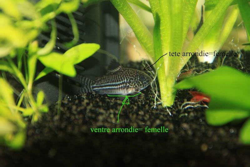 reproduction Corydoras trileneatus Corydo10
