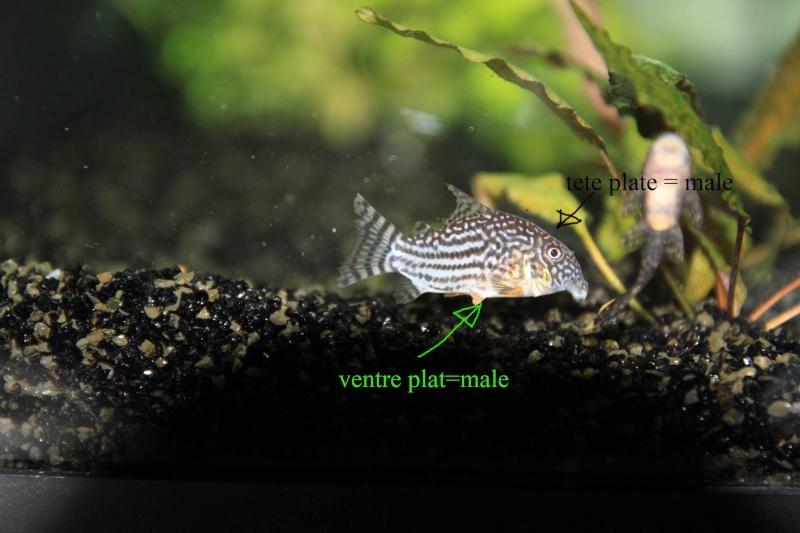 reproduction Corydoras trileneatus Corydo11