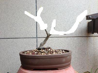 Nuovo arrivato, Ficus Carica Fico10
