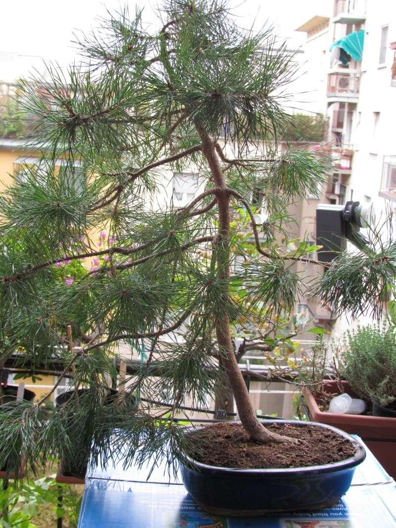 Aiuto per salvare il mio pino Img_0011