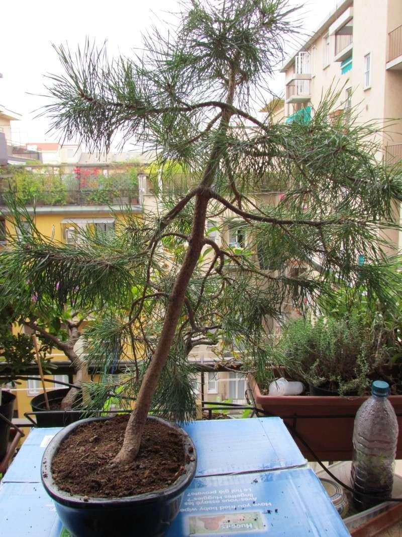 Aiuto per salvare il mio pino Img_0012