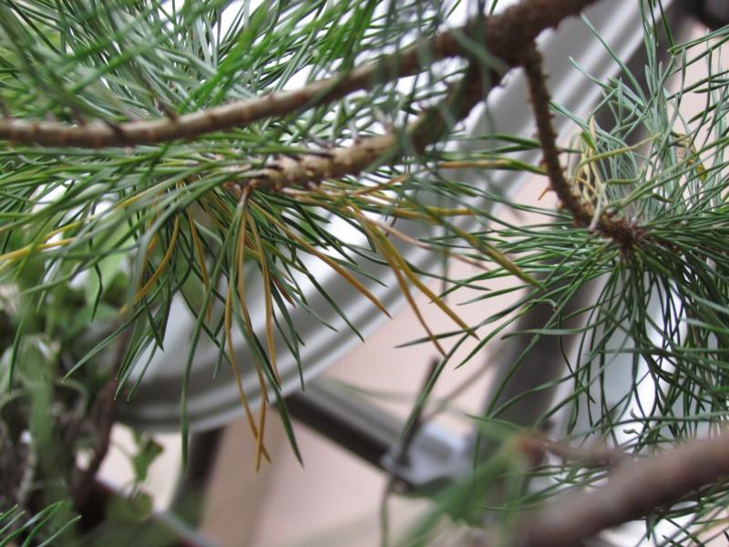 Aiuto per salvare il mio pino Img_0015