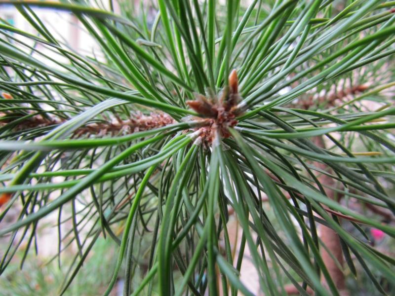 Aiuto per salvare il mio pino Img_0016