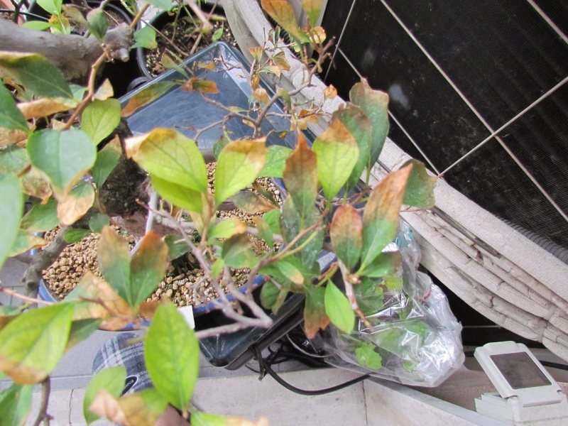 Problema styrax japonica Img_0019