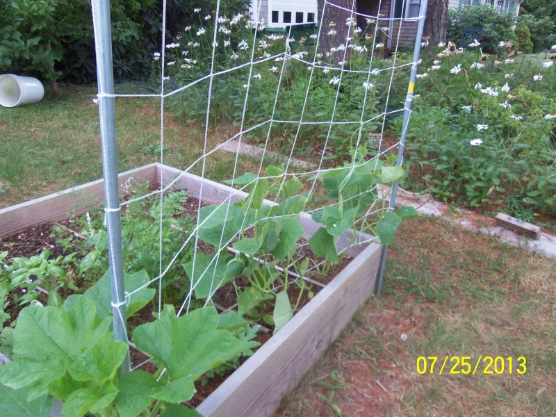 Spacing for vertical summer squash - Page 2 100_8510