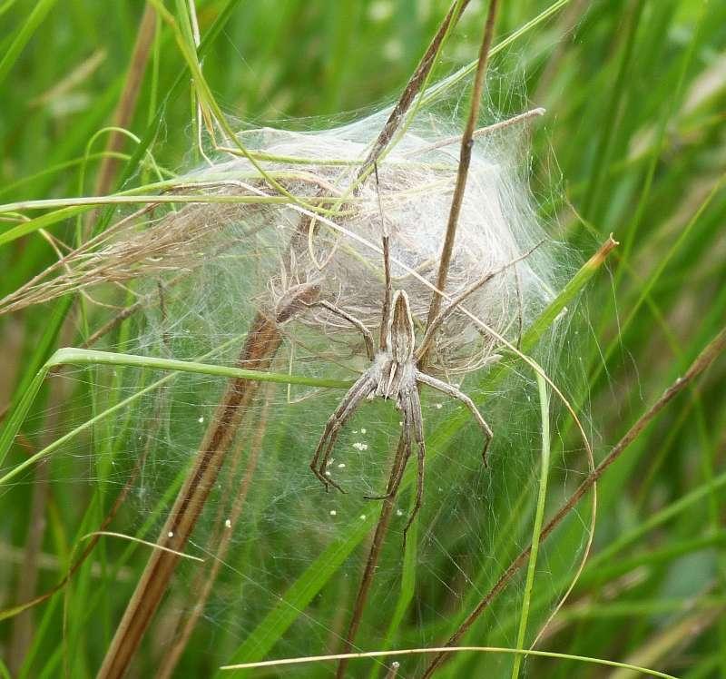gentille araignée, quel est ton nom ? P1080610