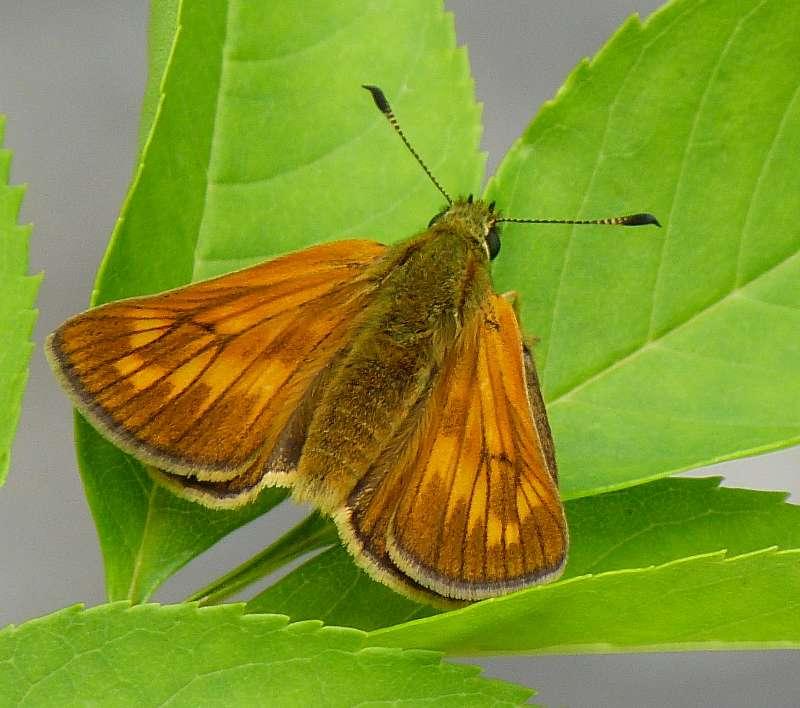 [Ochlodes sylvanus](Hesperidae Hesperiinae)Papillon nocturne ? P1080711