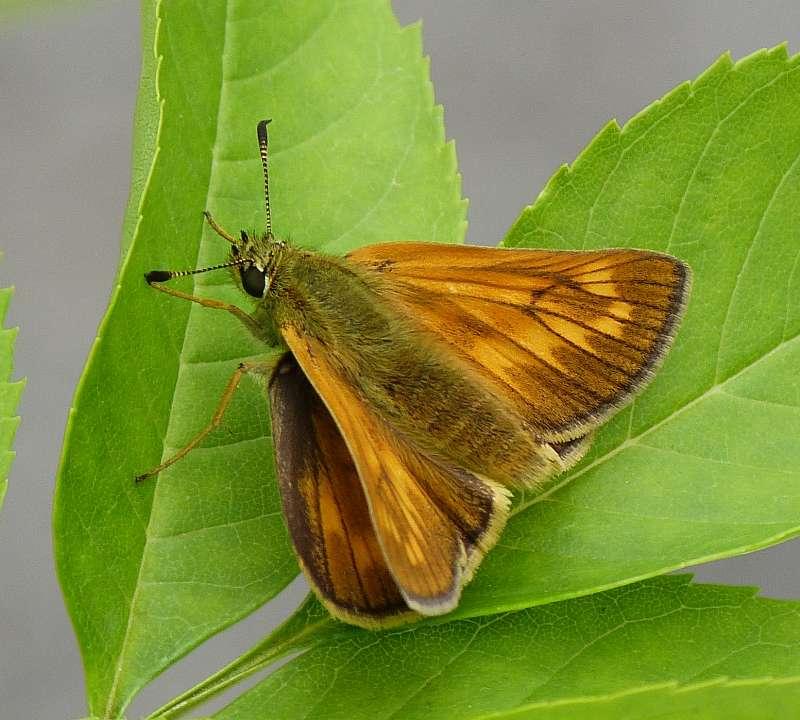 [Ochlodes sylvanus](Hesperidae Hesperiinae)Papillon nocturne ? P1080712