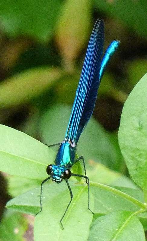 Calopteryx virgo meridionalis ? P1080910