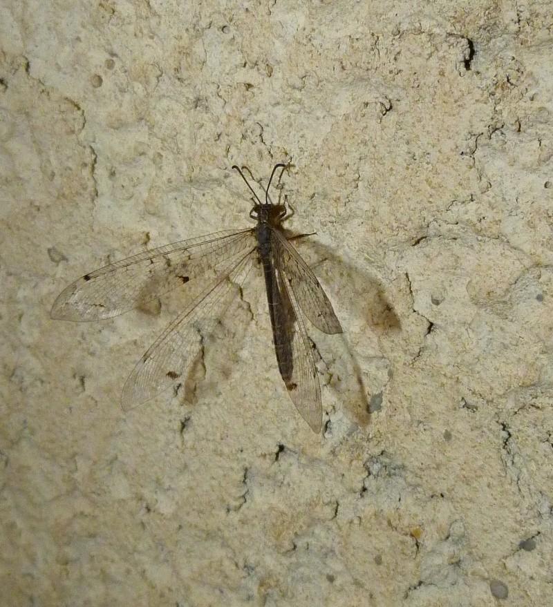 Une libellule nocturne ? P1090111