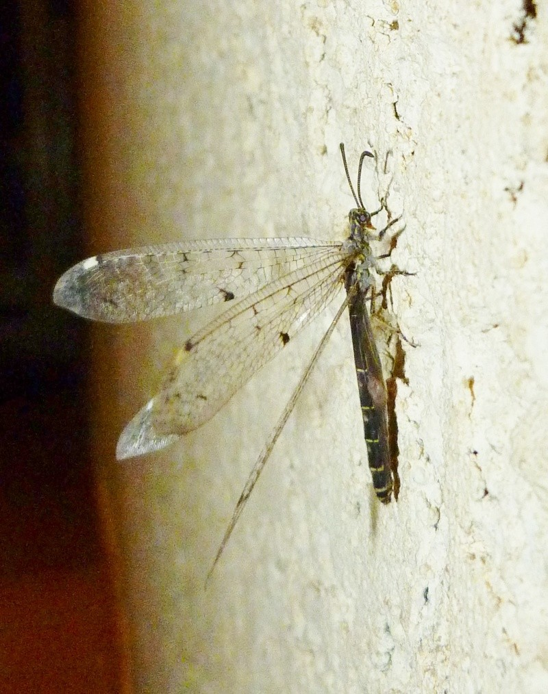 Une libellule nocturne ? P1090112