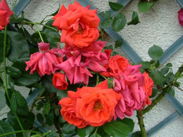 liste res rosiers de Lisaimie - Page 2 Dscn2010