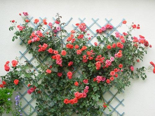 liste res rosiers de Lisaimie Grimpa10
