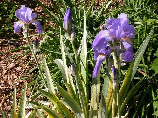 Iris japonica 'variegata' Irispa11