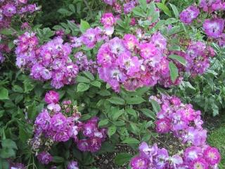 lavender friendship Lavend11