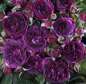 Rosa Purple Lodge  Purple10