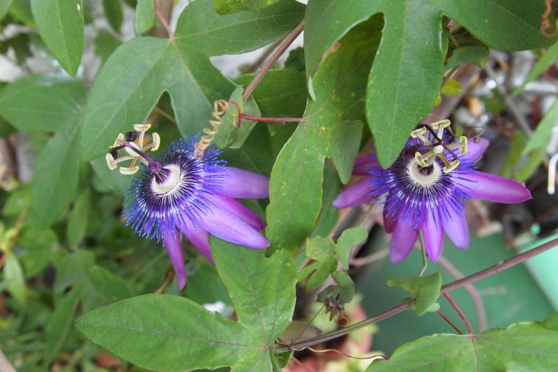 """Passiflora - Passionsblume - kleine """"Juwelen"""" - alles über Aussaat, Pflege, Vermehrung und natürlich Blütenbilder :) - Seite 5 P7193610"""