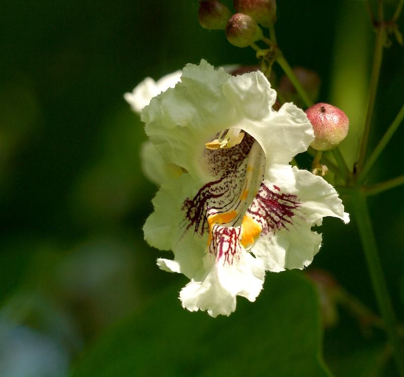 quelques fleurs de catalpa Catalp11