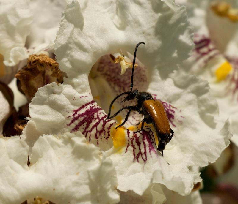 quelques fleurs de catalpa Catalp13