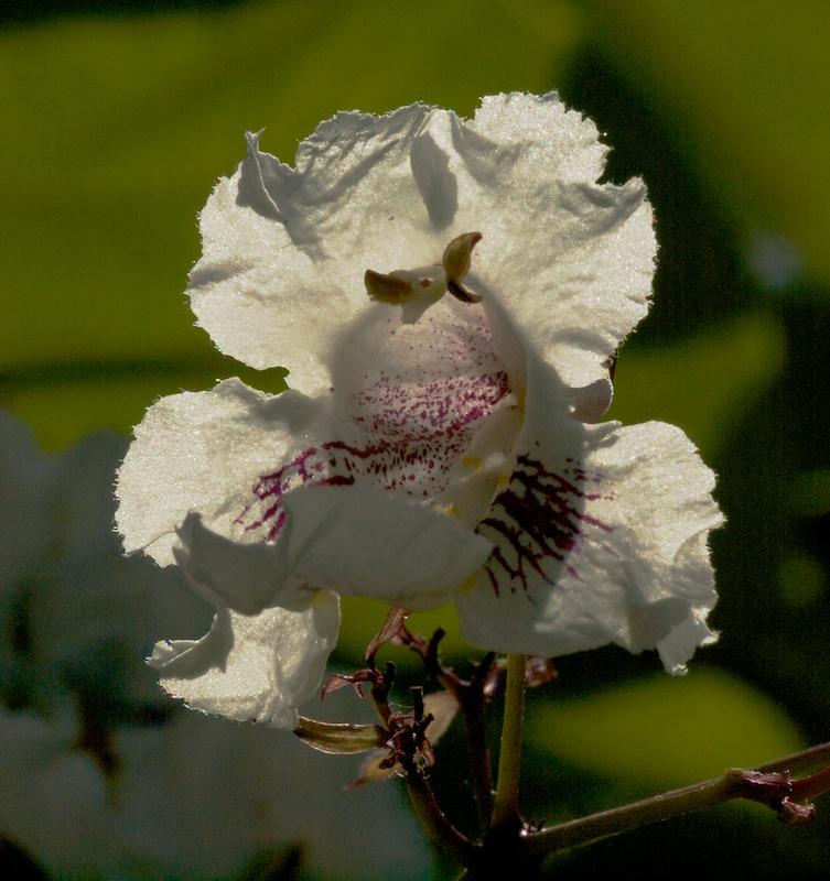 quelques fleurs de catalpa Plus_c10