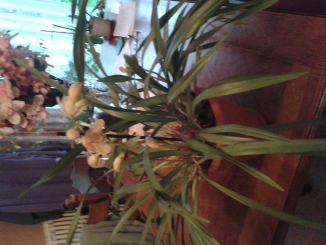 Quelques petites photos de mon cymbidium.(orchidées) 2012-110