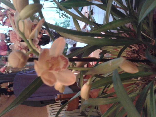 Quelques petites photos de mon cymbidium.(orchidées) 2012-111