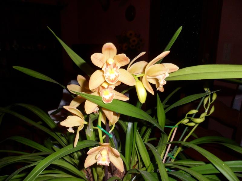 Quelques petites photos de mon cymbidium.(orchidées) Sam_0117