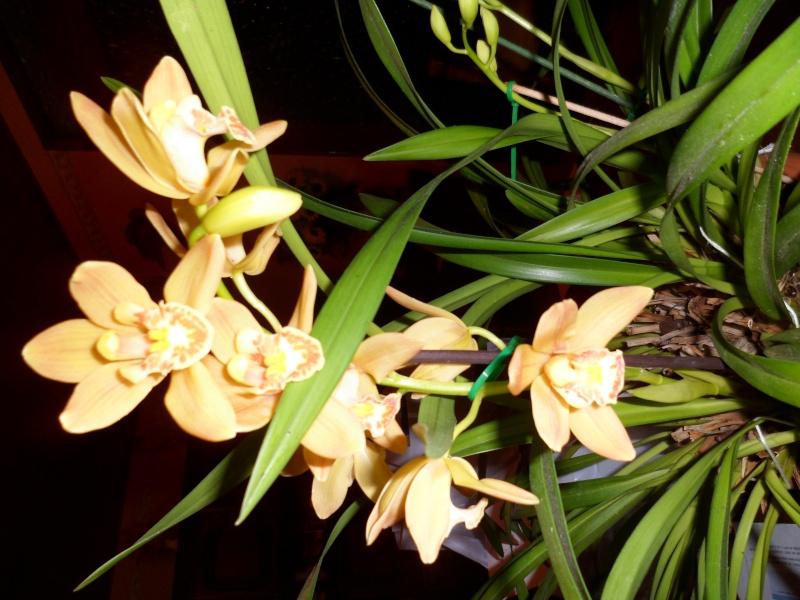 Quelques petites photos de mon cymbidium.(orchidées) Sam_0118