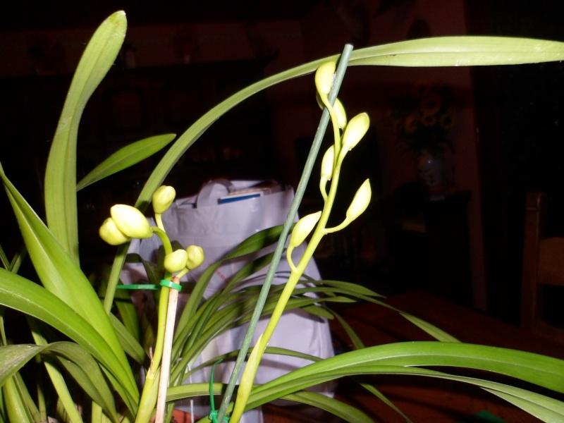 Quelques petites photos de mon cymbidium.(orchidées) Sam_0119