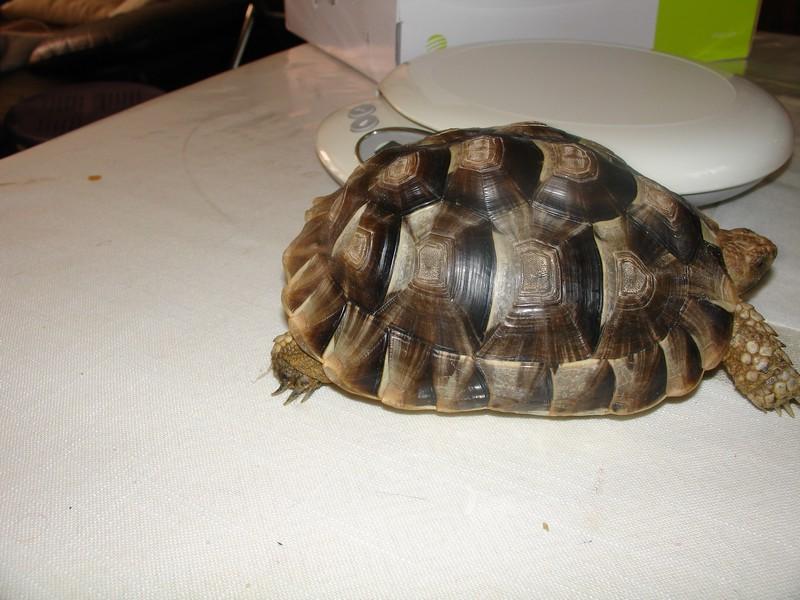 Graeca , mâle ou femelle Dsc04710