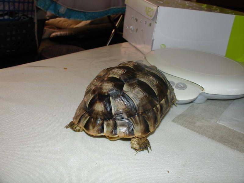 Graeca , mâle ou femelle Dsc04711