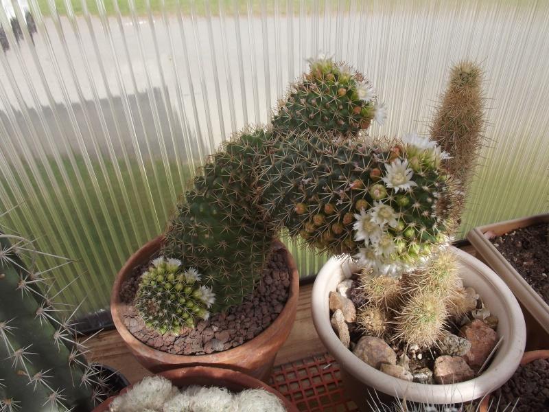 [En cours]ID Mammillaria  112