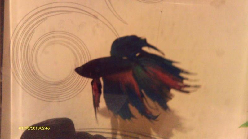repro mâle QDP multi x femelle QDV bleu roi Imag0034