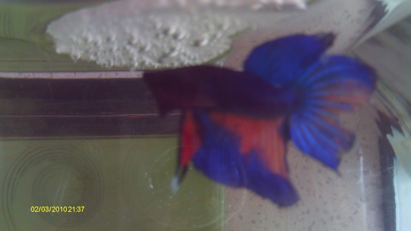 repro mâle QDP multi x femelle QDV bleu roi Imag0038