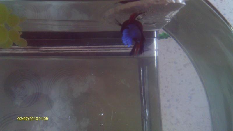 repro mâle QDP multi x femelle QDV bleu roi Imag0039
