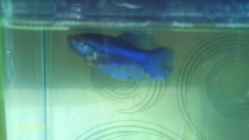 repro mâle QDP multi x femelle QDV bleu roi Imag0121