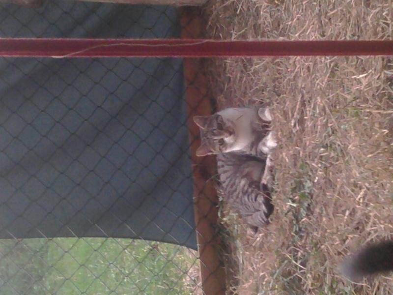 Fido, jeune chat gris blanc (250 269 500 536 605) 2012-015