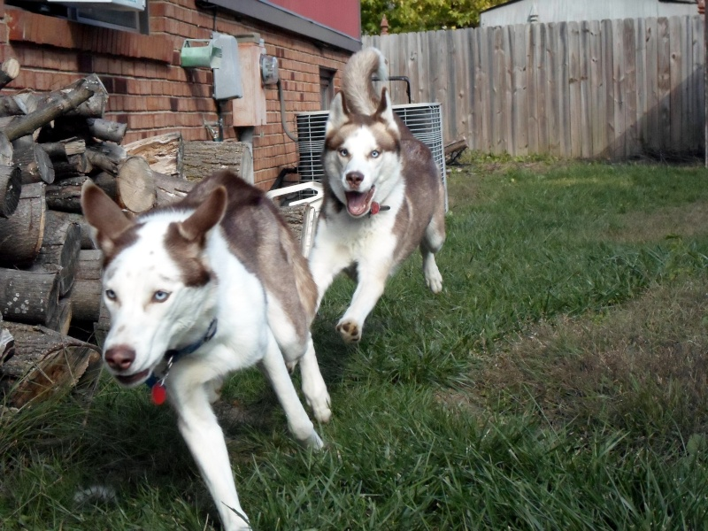 Classic Photos Of Your Huskies - Page 2 Sam_1321