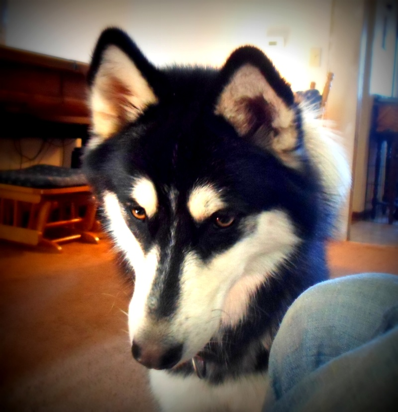 Classic Photos Of Your Huskies - Page 2 Sam_1413