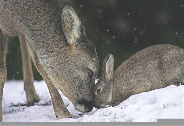 biches et cerfs!! Bambi_11