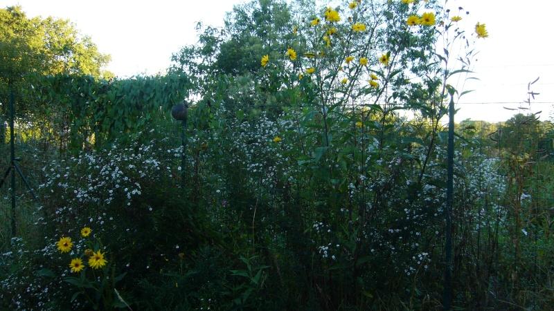 Qu'avez vous comme fleurs melfière en ce moment P1050910